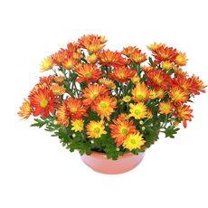 POMPONETTE - Coupe chrysanthème en pot de 23 cm 1 pièce