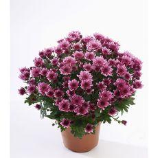 POMPONETTE - Chrysanthème en pot de 14 cm 1er prix