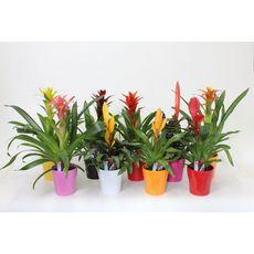 Fleurs - Bromélia dans céramique de couleurs 1 pièce