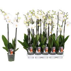 Fleurs - Orchidée 2 branches pot de 12cm
