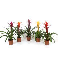 Plantes - Guzmania pot de 12 cm