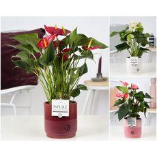 Fleurs - Anthurium 5 fleurs pot en céramique de 12cm