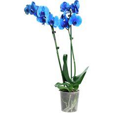 Fleurs - Orchidée 2 branches bleu royal 1 pièce