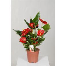 Fleurs - Anthurium 4 fleurs pot de 17cm