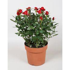 Fleurs - Mini rosier pot de 12 cm