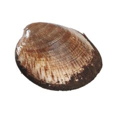 LA MARÉE DU JOUR Amandes de mer vivantes la caisse de 1 kg