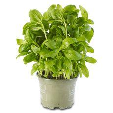 Basilic frais bio 250g