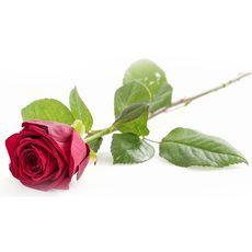 rose rouge à l'unité 50cm sous emballage