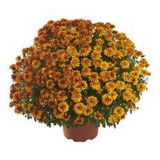 FLEURS Pomponettes - Chrysanthèmes différents coloris pot de 19cm 1 pièce