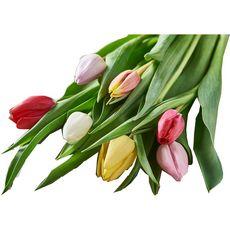 tulipe arlequin tige x7