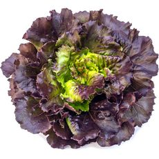 Salade feuille de chêne rouge 1 pièce
